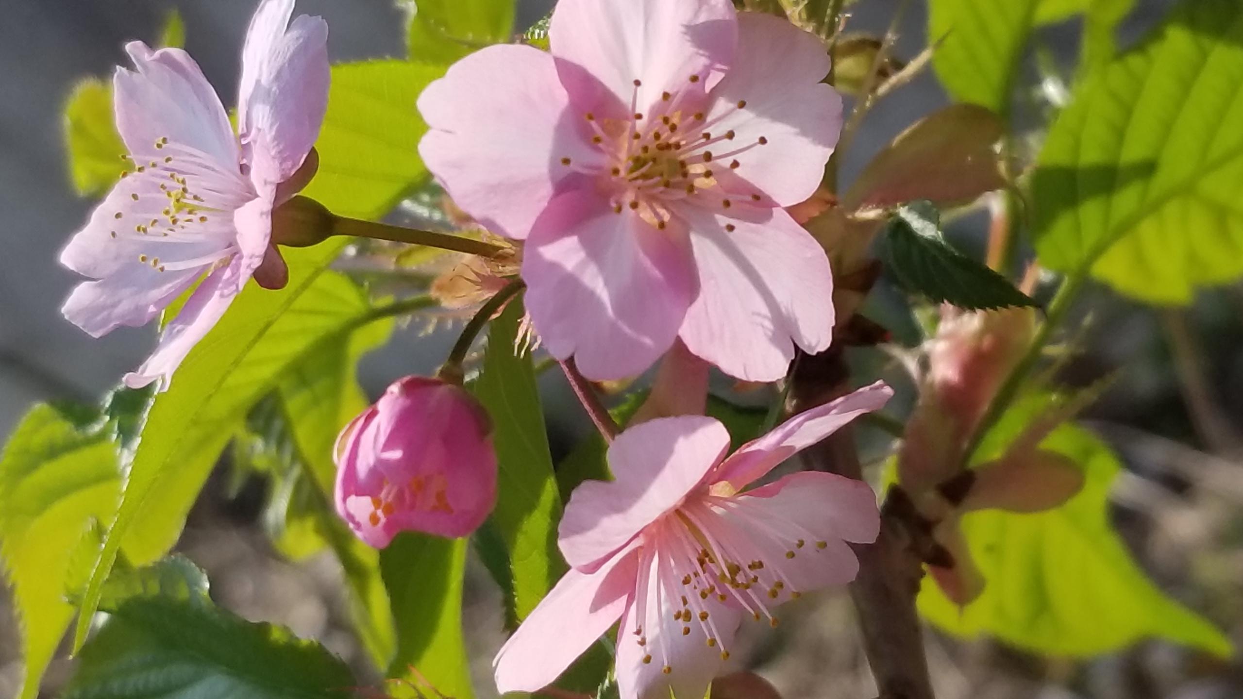 桜の植樹3